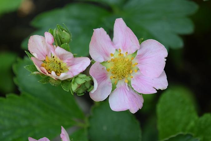 Erdbeerblüten